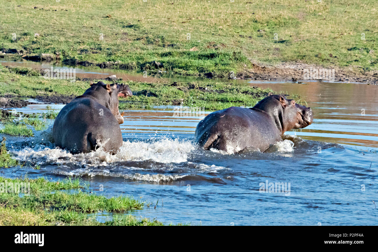 Hippo, Chobe National Park, North-West District, Botswana Stock Photo