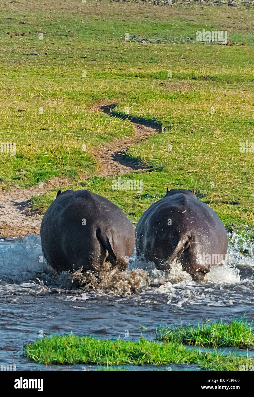 Hippo, Chobe National Park, North-West District, Botswana - Stock Image