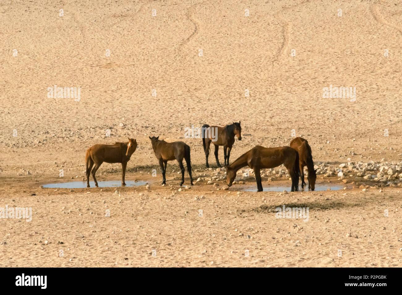 Wild horses on southern Namib Desert, Karas Region, Namibia - Stock Image