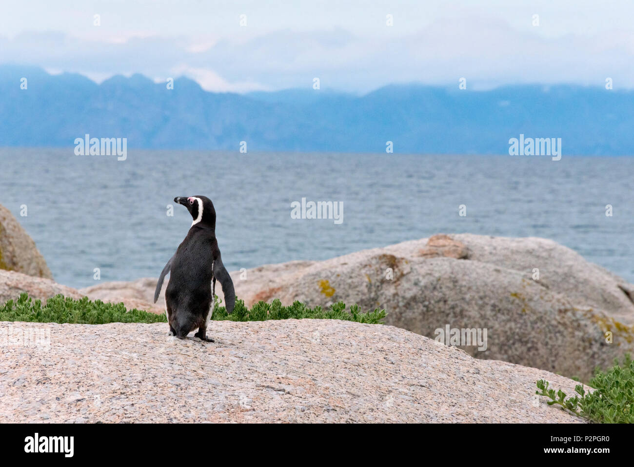 African penguin, Simon's Town, South Africa Stock Photo