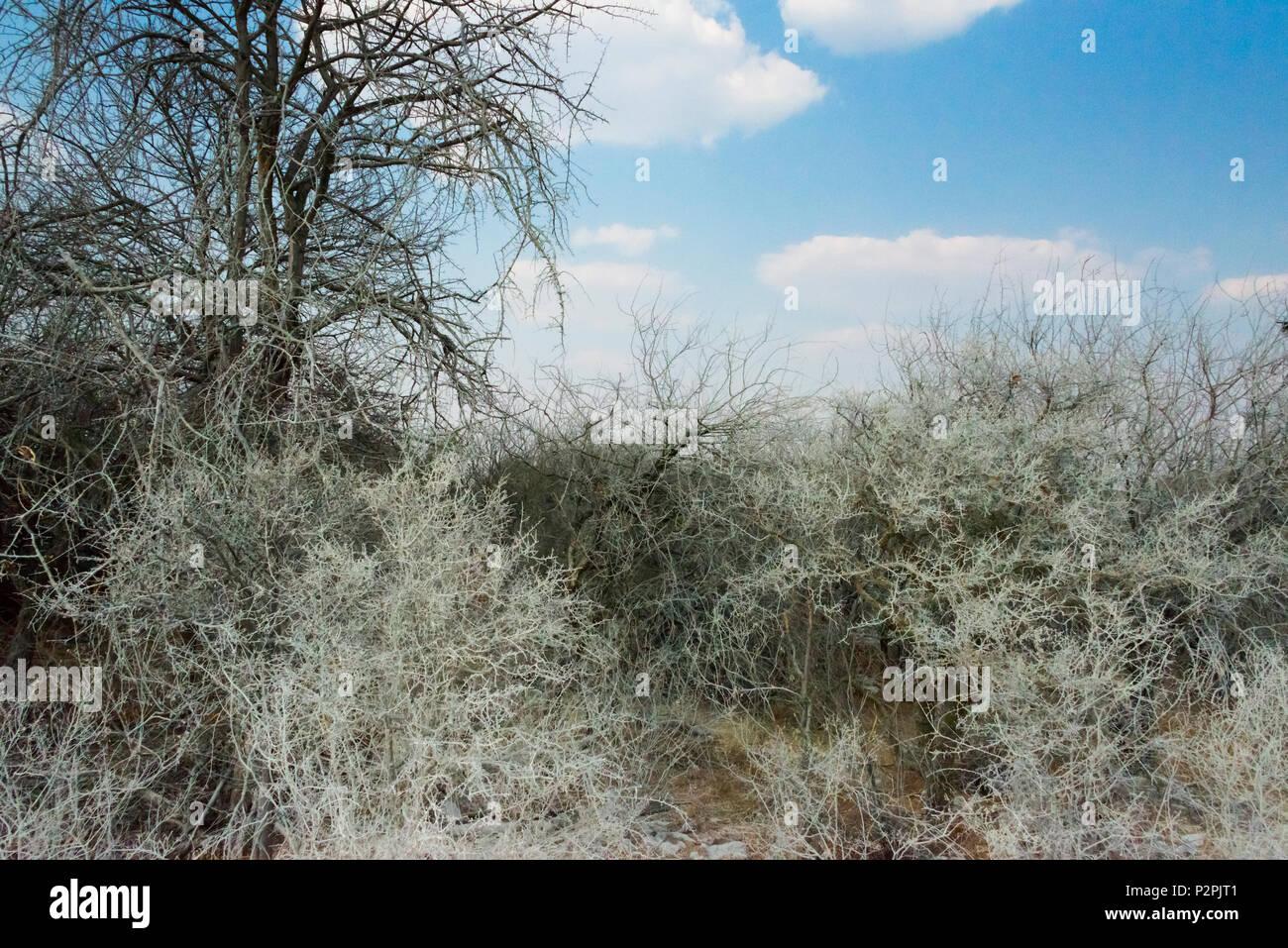 Trees wrapped in white dust, Etosha National Park, Oshikoto Region, Namibia - Stock Image