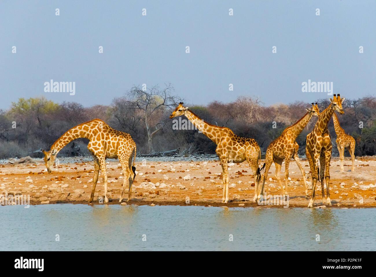 Giraffes by the river, Etosha National Park, Oshikoto Region, Namibia - Stock Image
