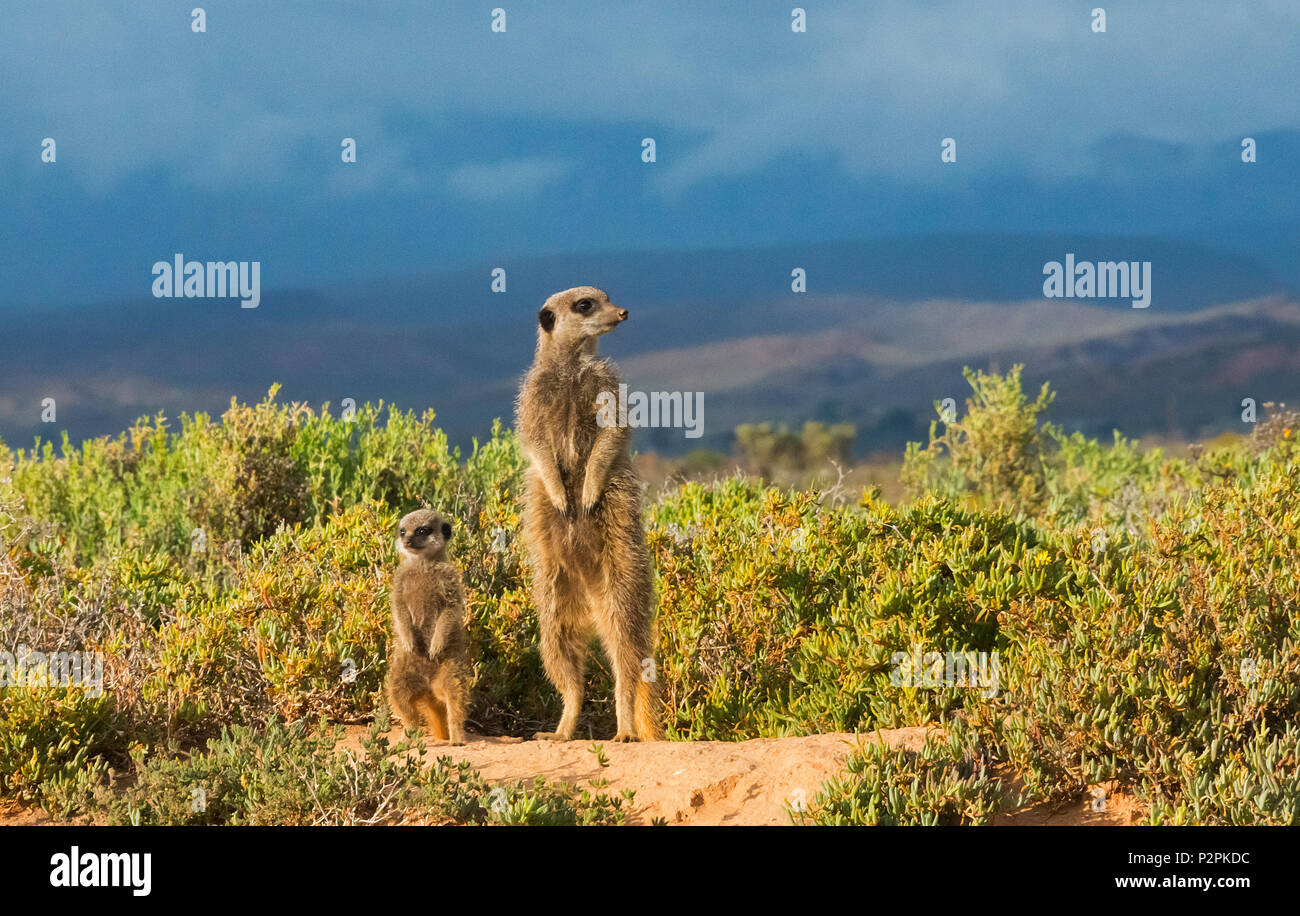 Meerkat family, Western Cape Province, South Africa Stock Photo