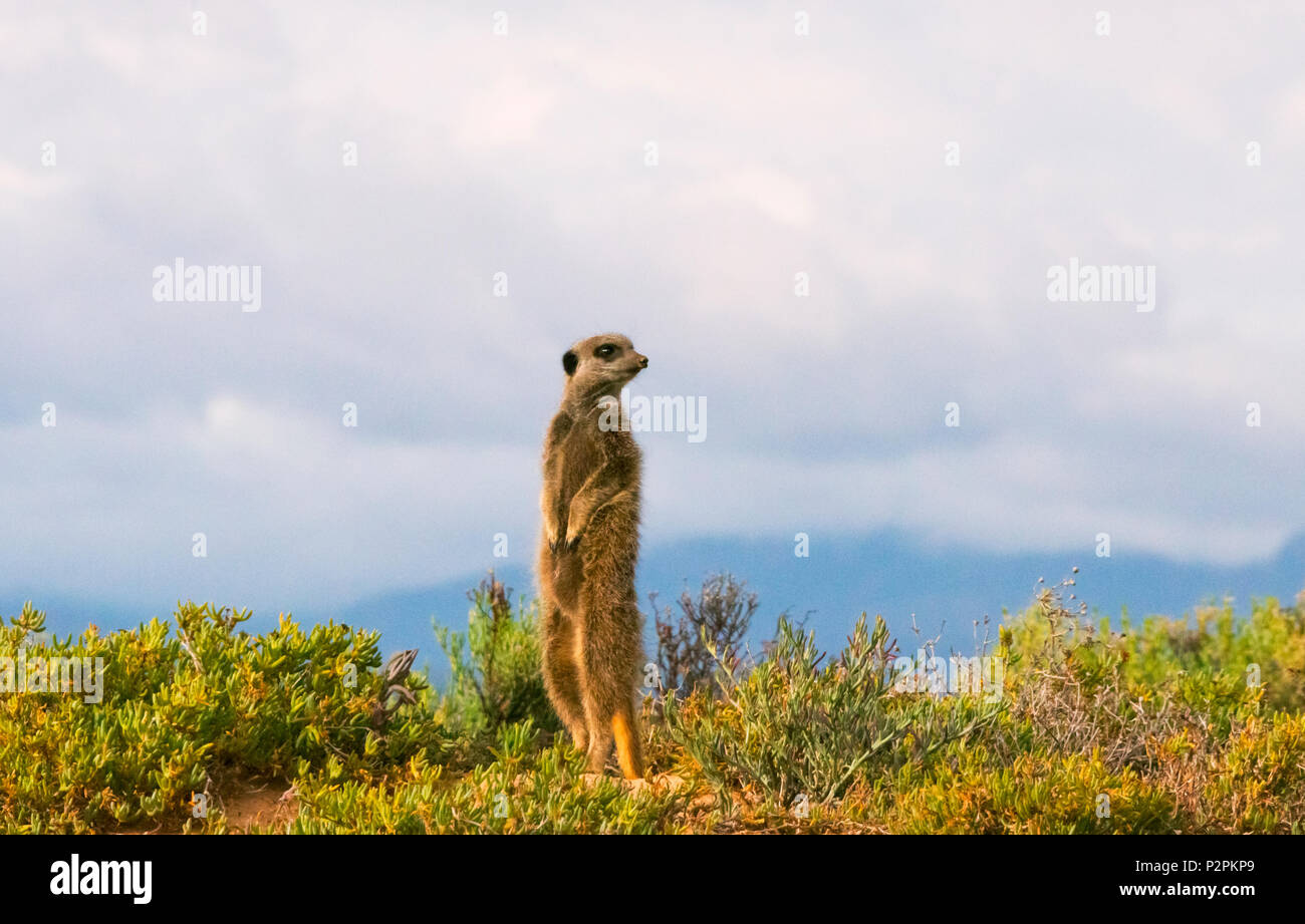 Meerkat, Western Cape Province, South Africa - Stock Image