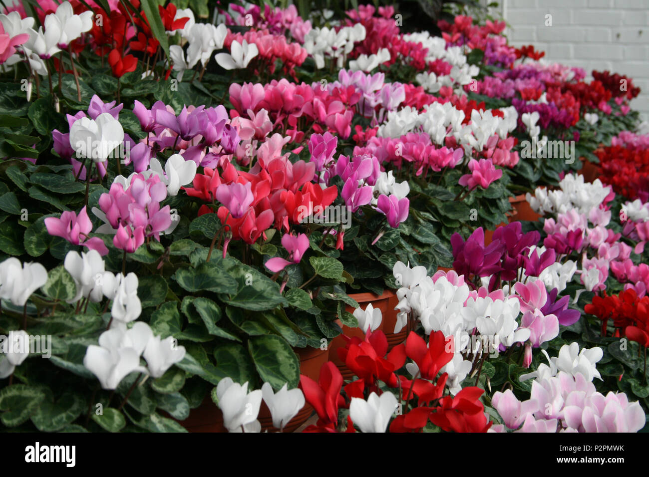 Colorful Cyclamen flowers which grow from tubers and are valued for their  upswept petals and patterned leaves. - Stock Image