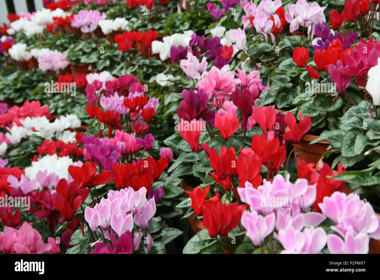 Colourful Cyclamen flowers which grow from tubers and are valued for their  upswept petals and patterned leaves. - Stock Image