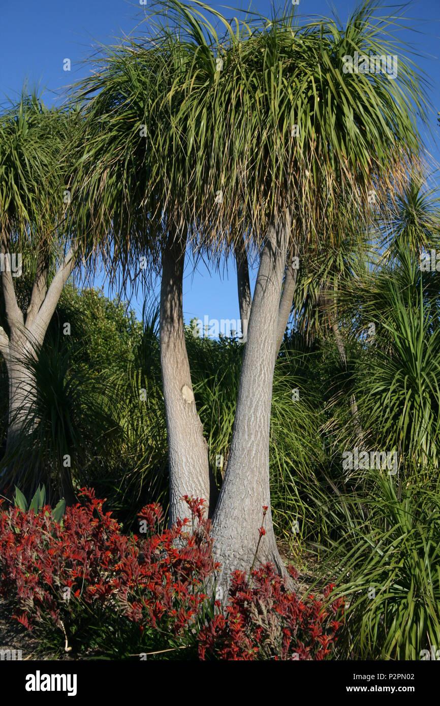 Beaucarnea recurvata - Ponytail palms, Queensland - Stock Image