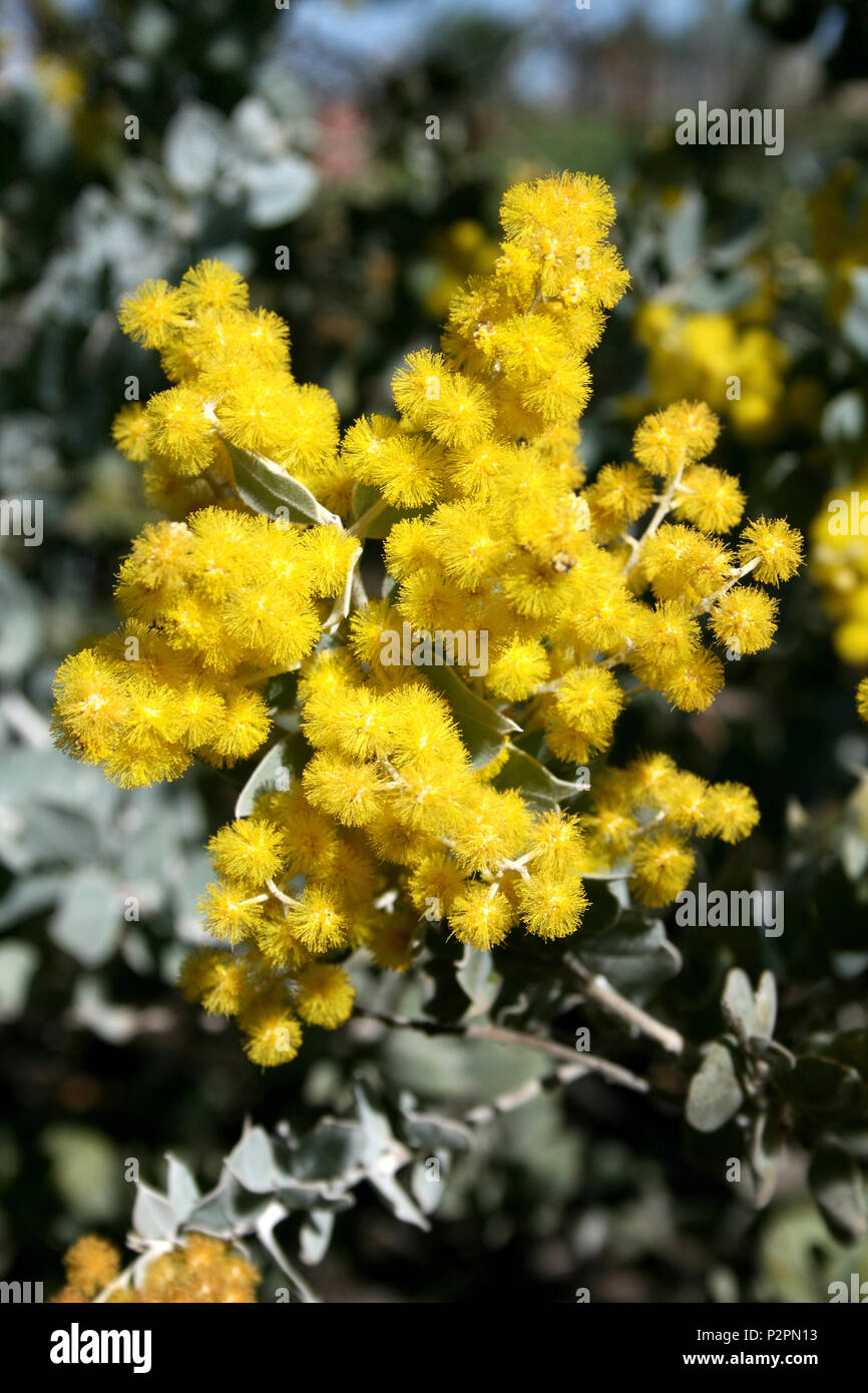 Close up of Acacia podalyriifolia (commonly known as Queensland Silver Wattle) blossom - Stock Image