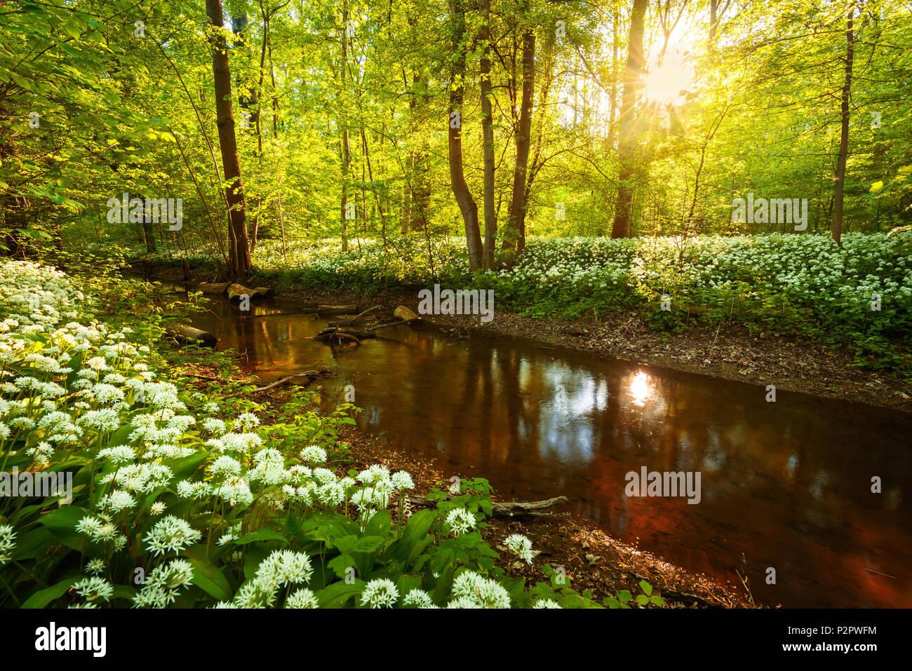 Sun, Forest, River, Bears Garlic, Wildflower, Spring, Park, Leipzig, Germany, Europe - Stock Image