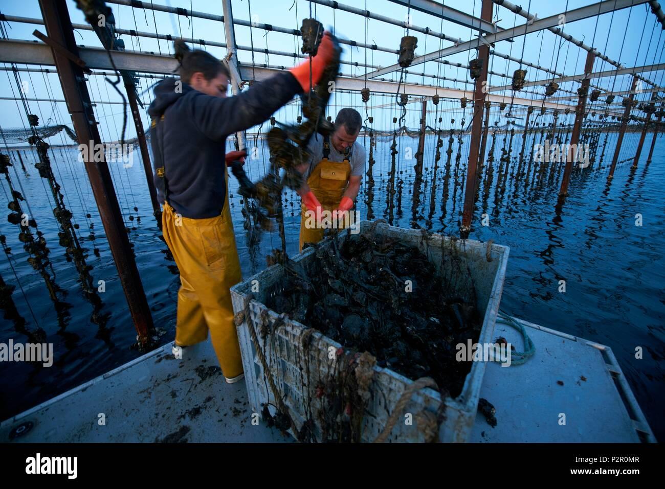 France, Herault, Marseillan, oyster farming, Tarbouriech company, oyster farming, shellfish farmers Stock Photo