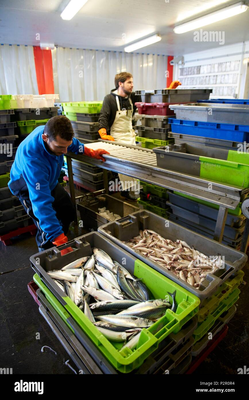France, Herault, Sete, sale of fish at the auction of Sete, loading fish on treadmills - Stock Image