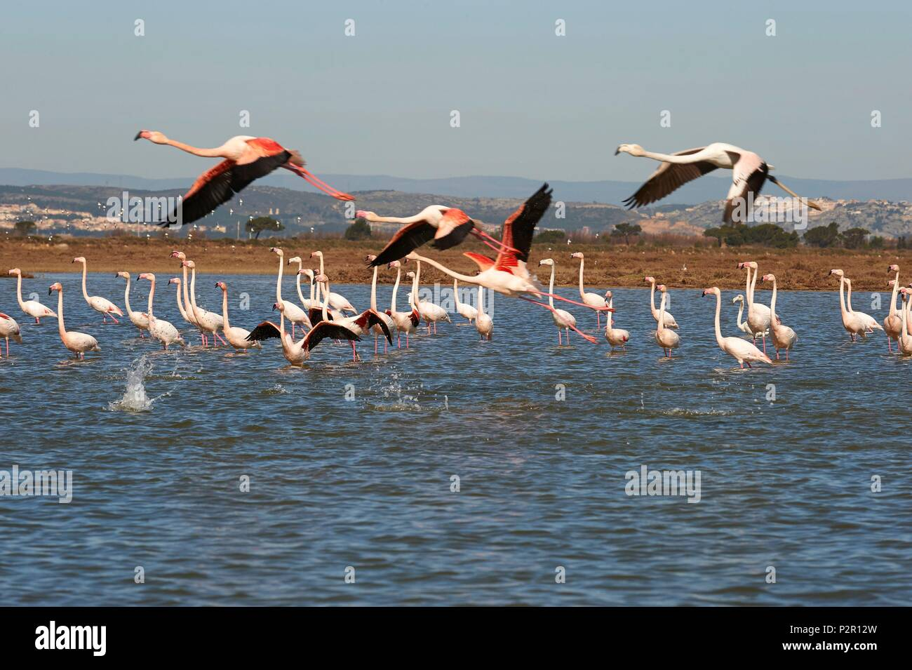 France, Aude, Gruissan, Flamingos at the pond of Campagnol Stock Photo