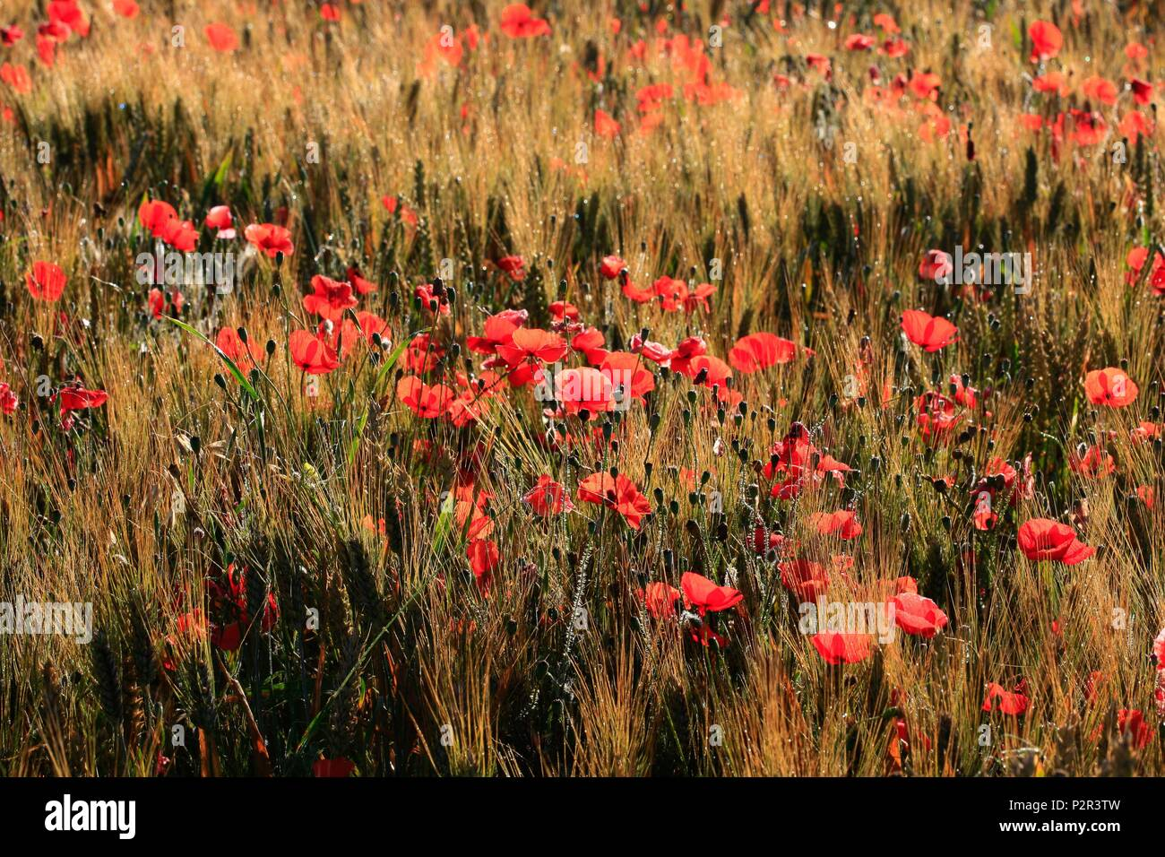France, Bouches du Rhone, Puyricard, field of poppies, also called Ponceau, poppy poppy or red poppy, is a dicotyledonous plant of the family Papaveraceae and poppy genus - Stock Image
