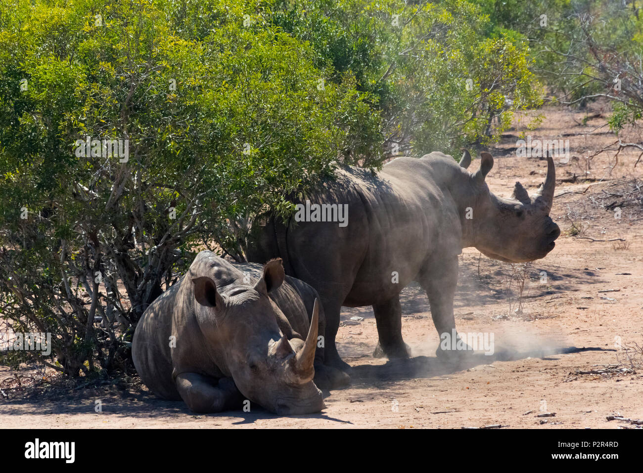 White Rhinos at Mkhaya Game Reserve, Swaziland Stock Photo