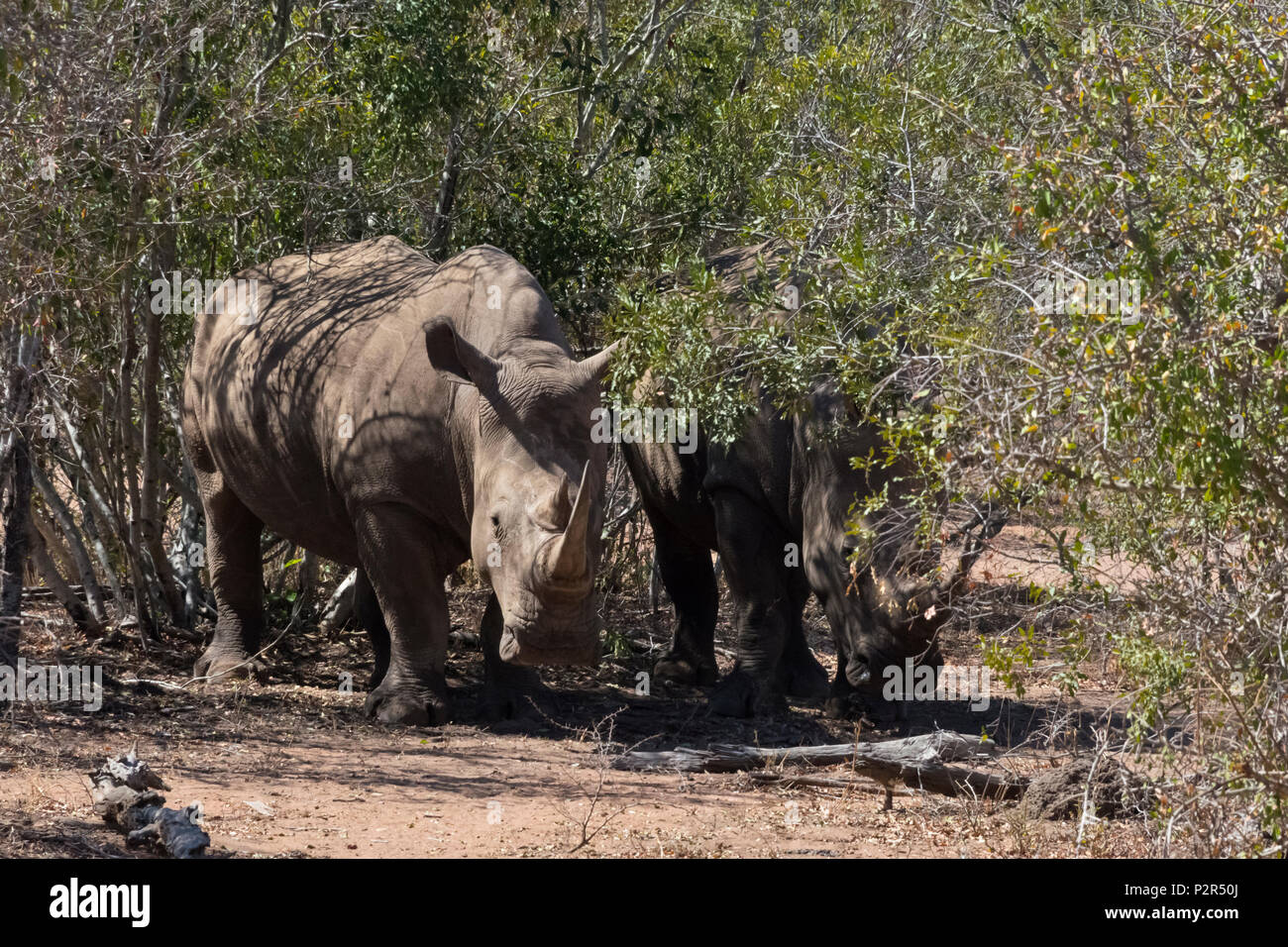 White Rhinos at Mkhaya Game Reserve, Swaziland - Stock Image