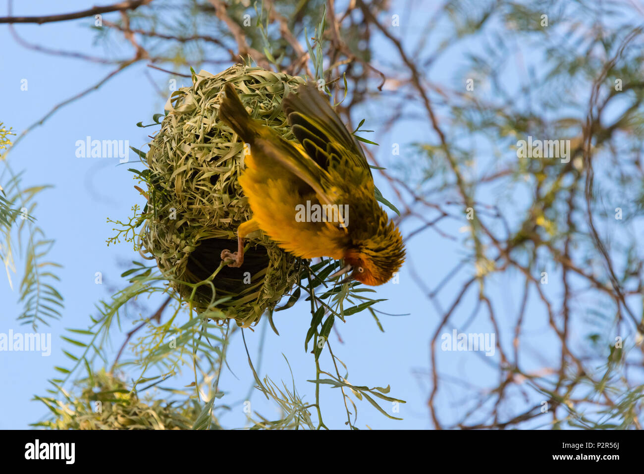 Weaver with nest, Swaziland - Stock Image
