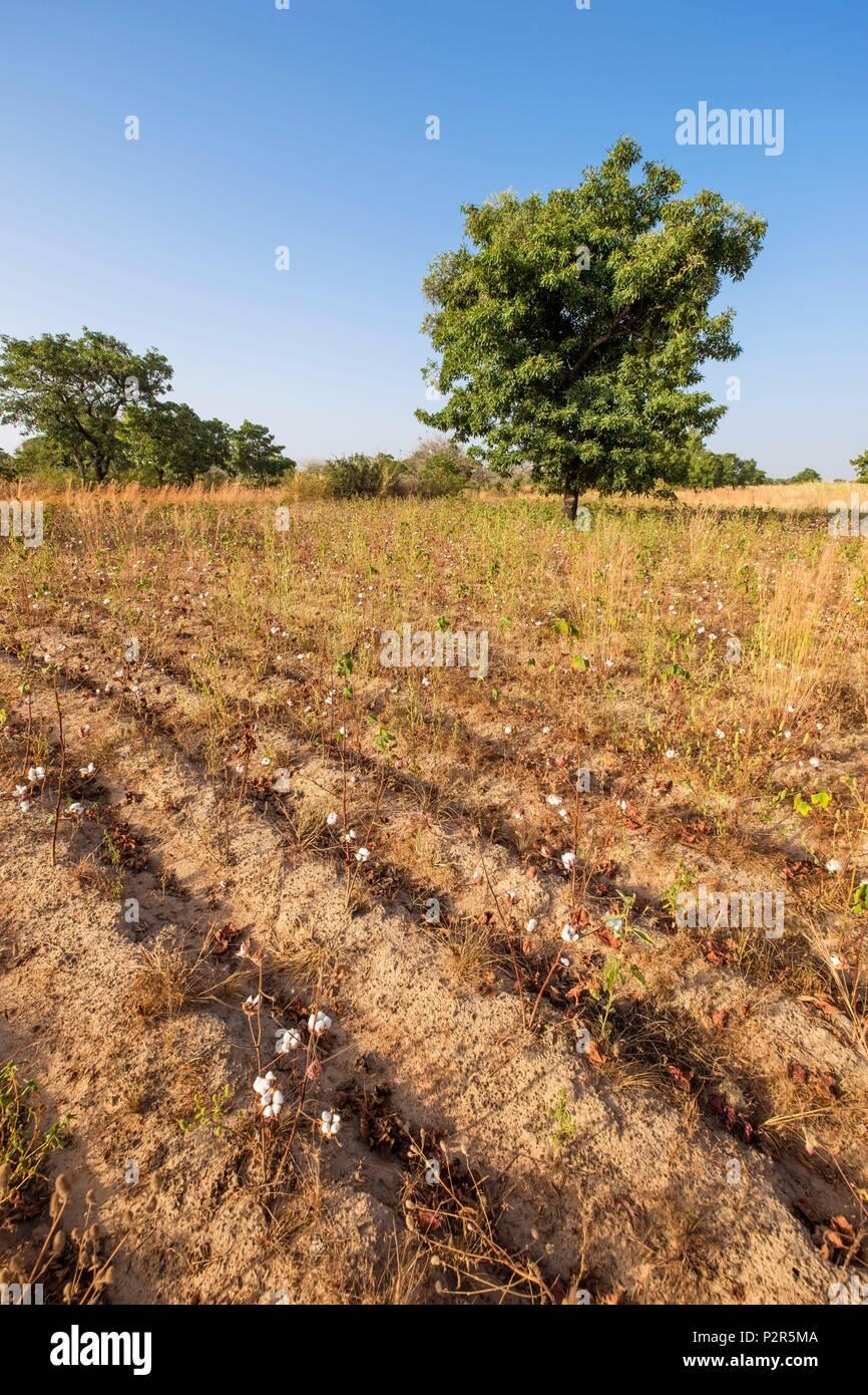 Burkina Faso, Balé province, Boromo, cotton field - Stock Image