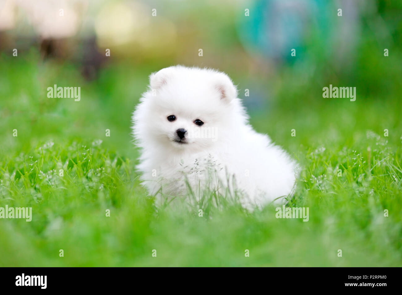 White Pomeranian High Resolution Stock Photography And Images Alamy