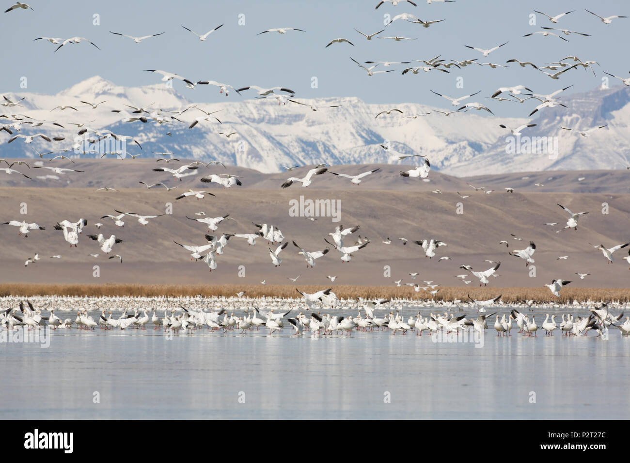 Snowy peaks of Rockies beyond flying snow geese. Migration stopover is near barley fields providing  major food source, Freezout Lake, MT. - Stock Image