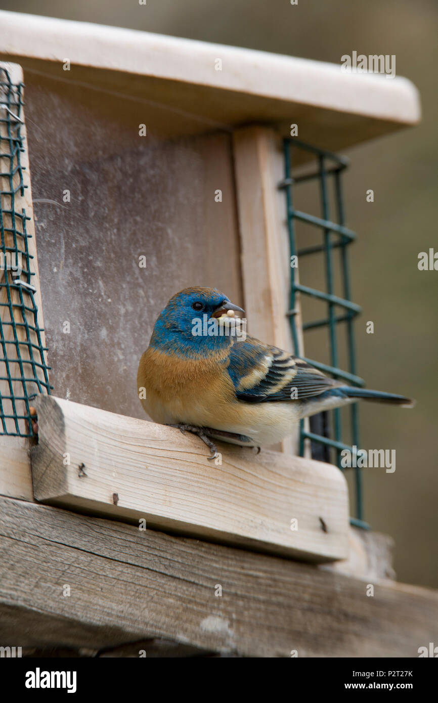 Beautiful male Lazuli bunting (Passerina amoena) eats a seed.  Frequent feeder visitors, Lazuli like sunflower, millet, and thistle seed. - Stock Image