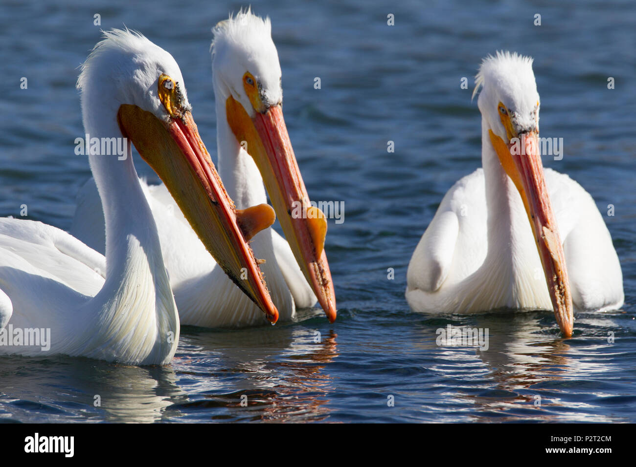 Three American white pelicans (Pelecanus erythrorhyncos) float together. Stock Photo