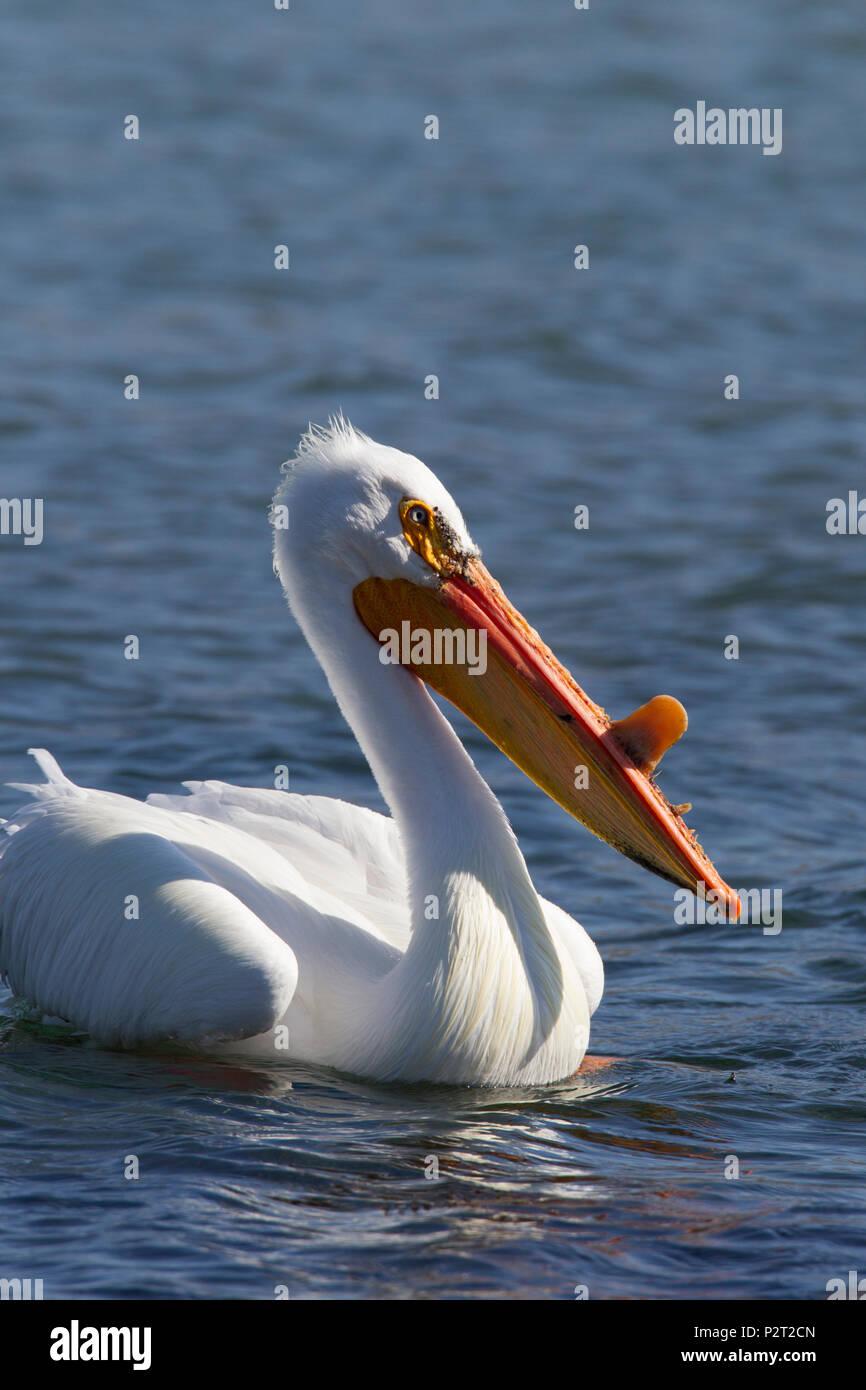 American white pelican (Pelecanus erythrorhyncos) swims. - Stock Image