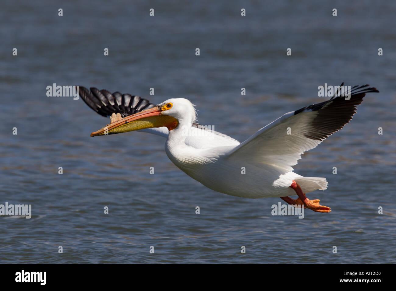 American white pelican (Pelecanus erythrorhyncos) slows its flight in preparation for landing. - Stock Image