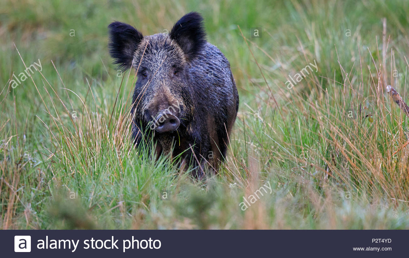 An adult Wild Boar is encountered near Awres Glow deep in the beautiful Forest of Dean - Stock Image