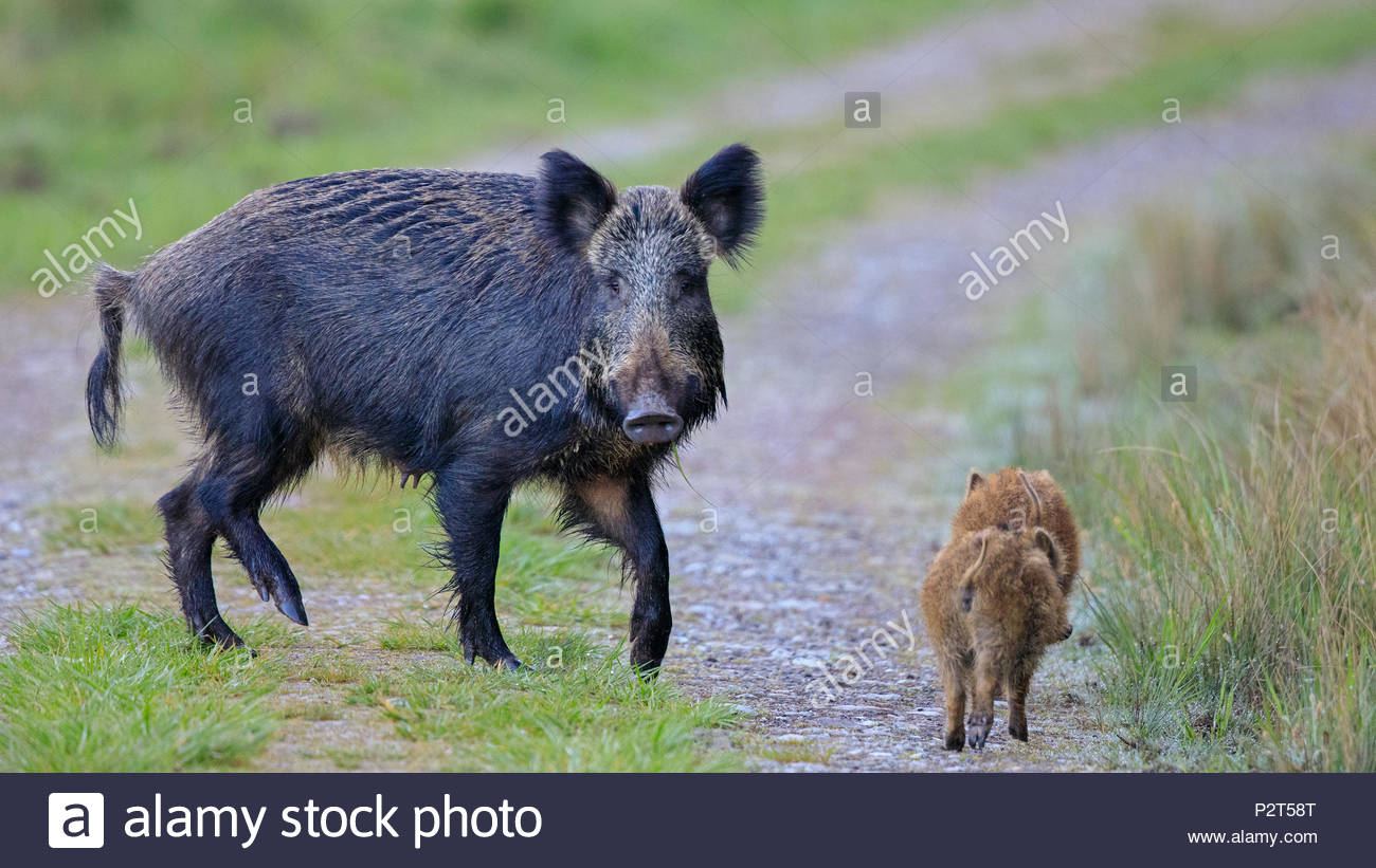 A Wild Boar Sow looks threateningly at the photographer whilst her young make a quick escape. - Stock Image
