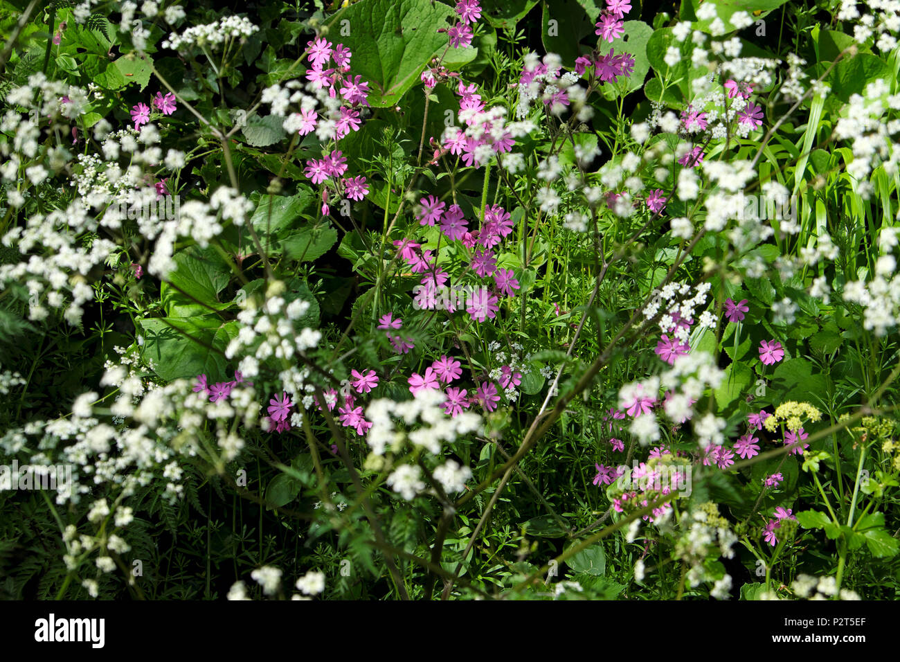 Red campion and cow parsley growing on a roadside verge in  May spring in Pembrokeshire Marloes West Wales UK  KATHY DEWITT - Stock Image