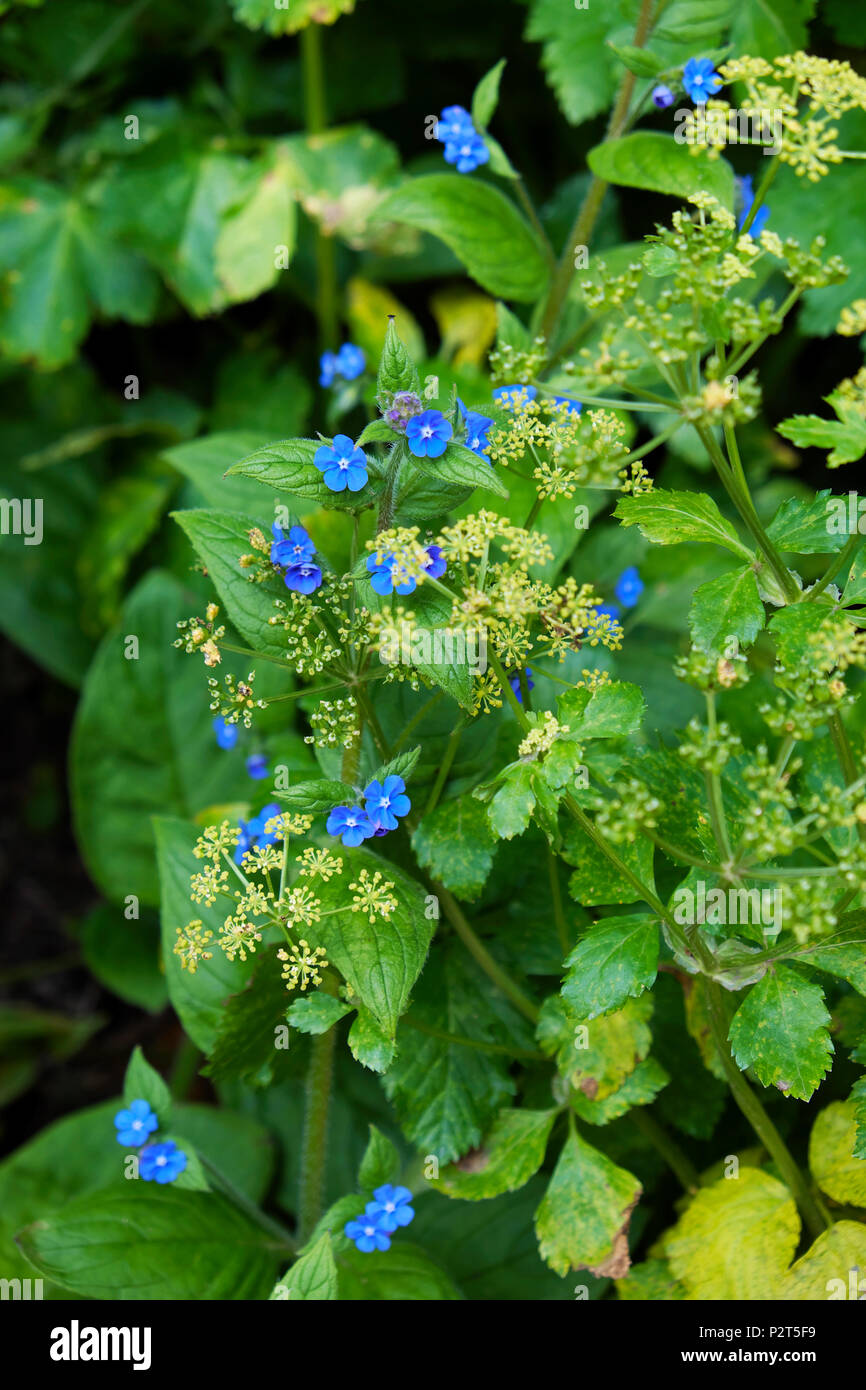 Green Alkanet With Small Blue Flowers In Bloom In Spring Growing