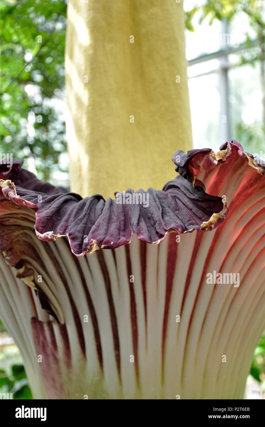 Titan arum - Amorphophallus titanum - Stock Image