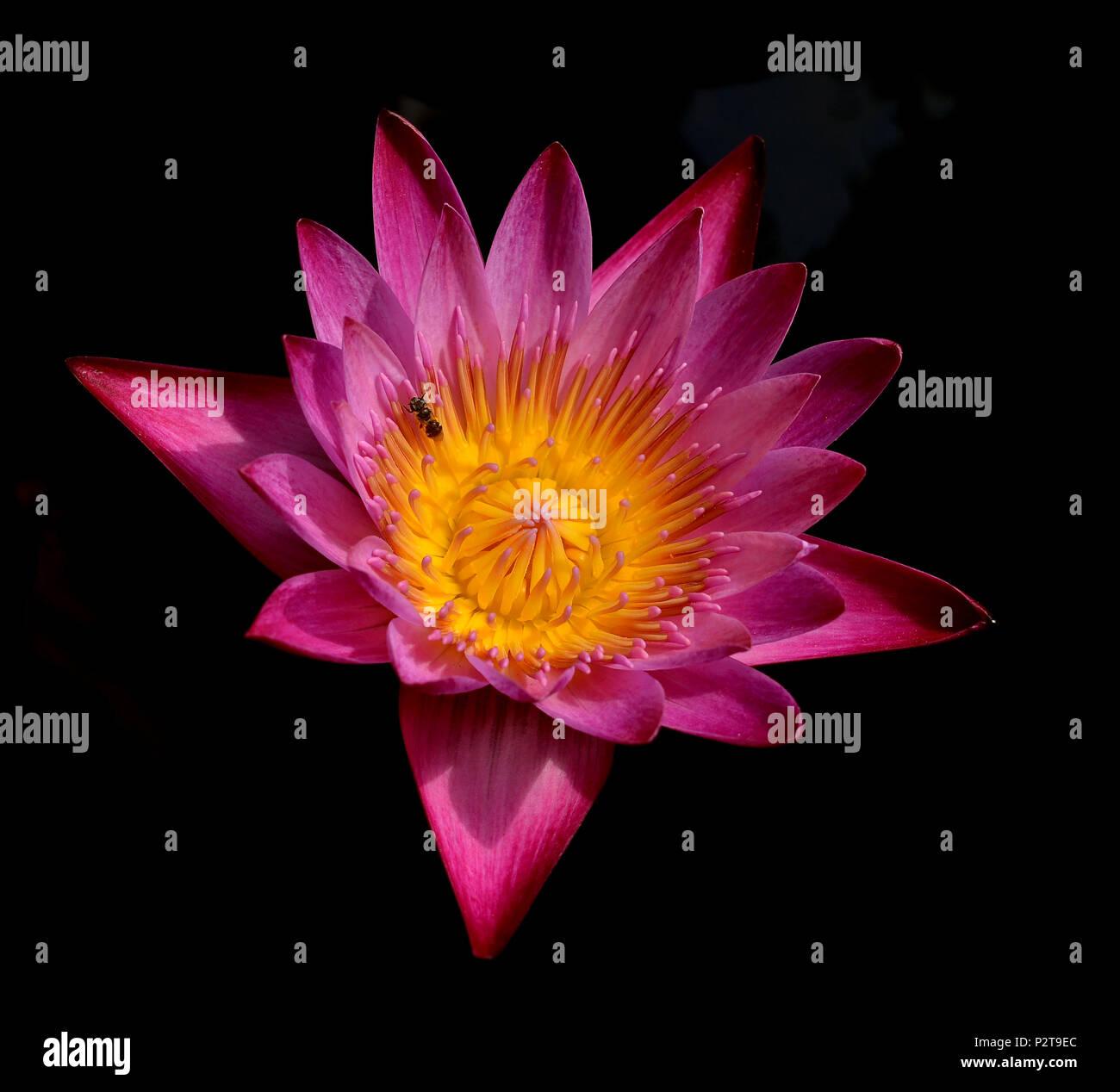 Single lotus flower isolated on black  background - Stock Image
