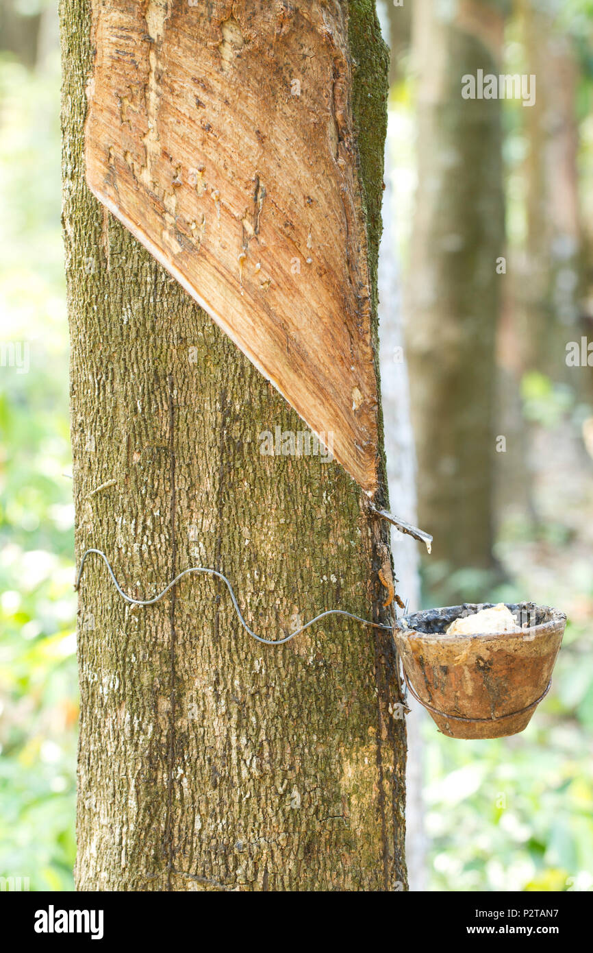 Tapping latex from a rubber tree - Stock Image