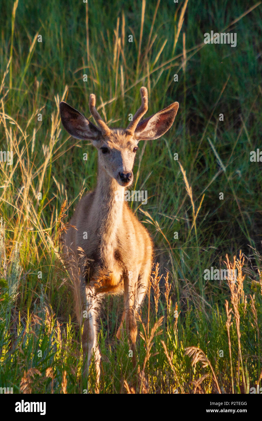 Mule deer, Odocoileus hemionus, in early morning light in Devil's Tower National Monument in Wyoming. - Stock Image