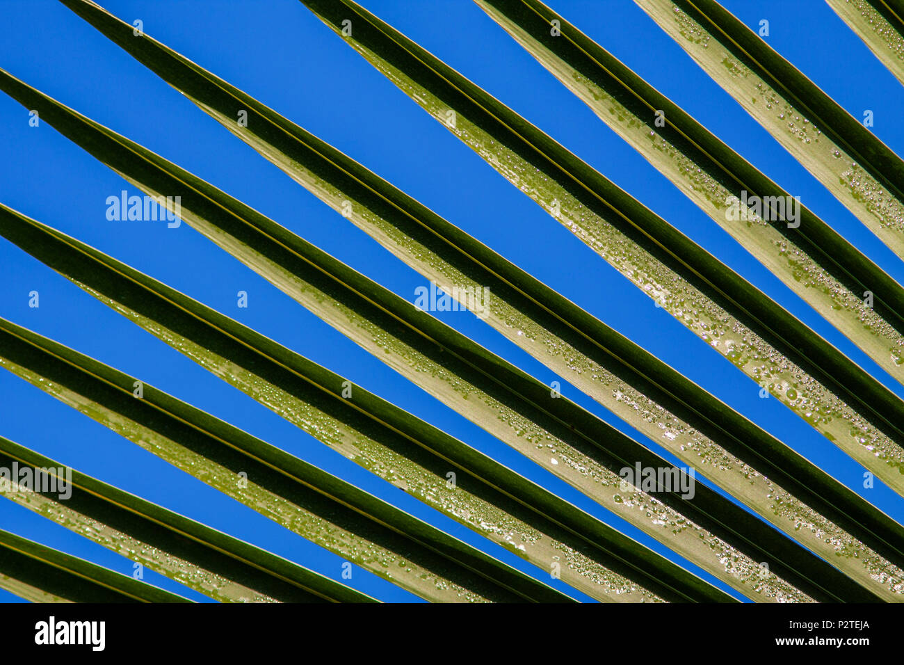 Patterns in Palm leaves of Coconut trees in tropical gardens at the Sarapiqui Neotropic center, northeastern Costa Rica. - Stock Image