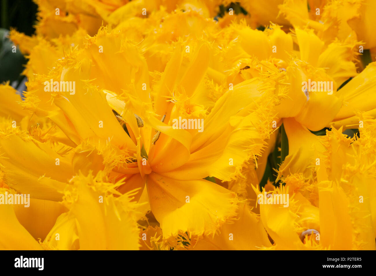 Fringed Tulip, Tulipa fringed 'MON AMOUR', at the Keukenhof Gardens in South Holland, The Netherlands. - Stock Image