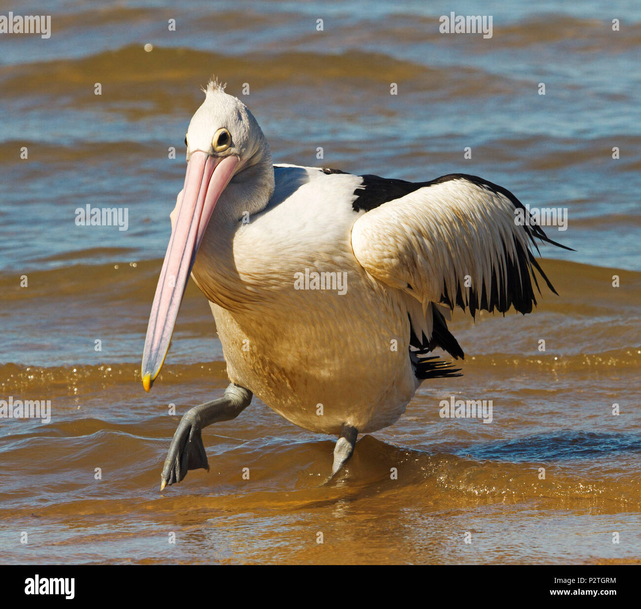 Australian pelican in humorous pose tip-toeing through ripples and shallow water of Pacific Ocean at Queensland beach - Stock Image