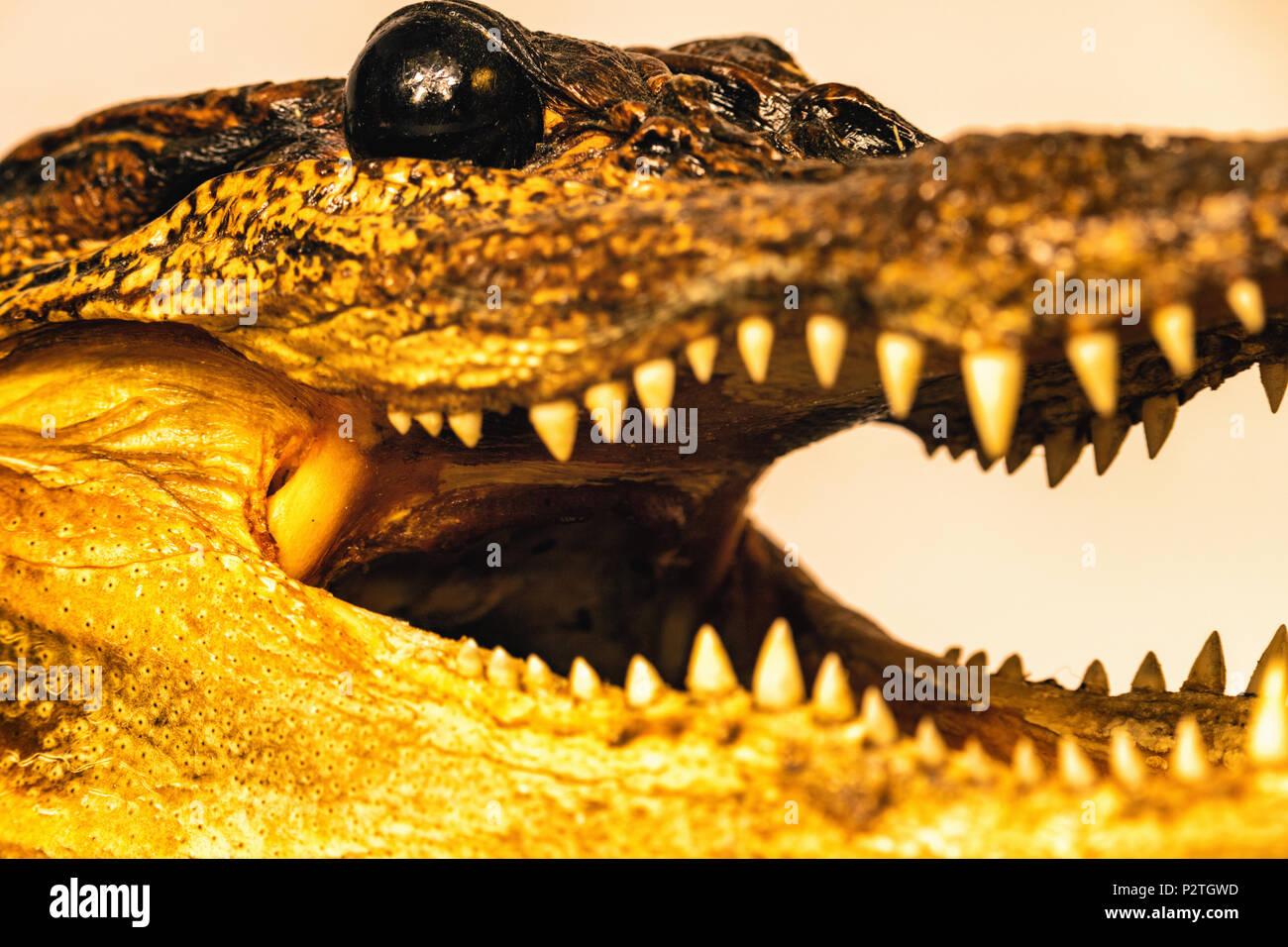 alligator close up - Stock Image