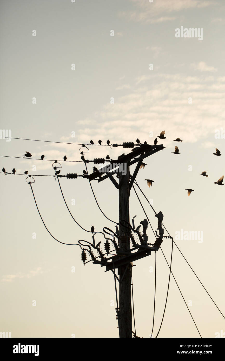 Adult and juvenile starlings, Sturnus vulgaris, that have gathered on telegraph lines in the evening heading off to roost. The adults are dark in colo - Stock Image