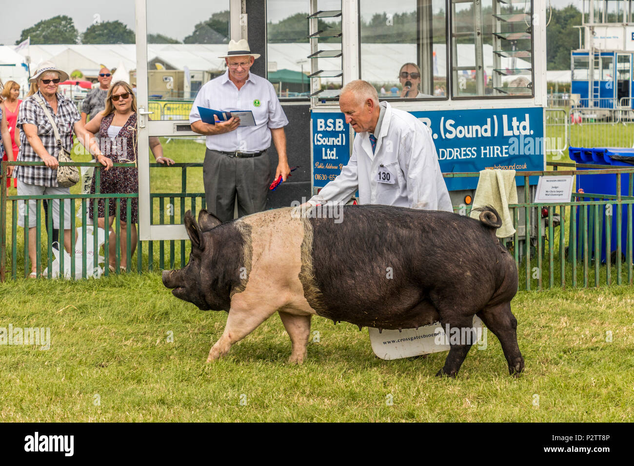 Contestants and judges with pigs at Royal Cheshire Show Tabley Showground Cheshire UK - Stock Image