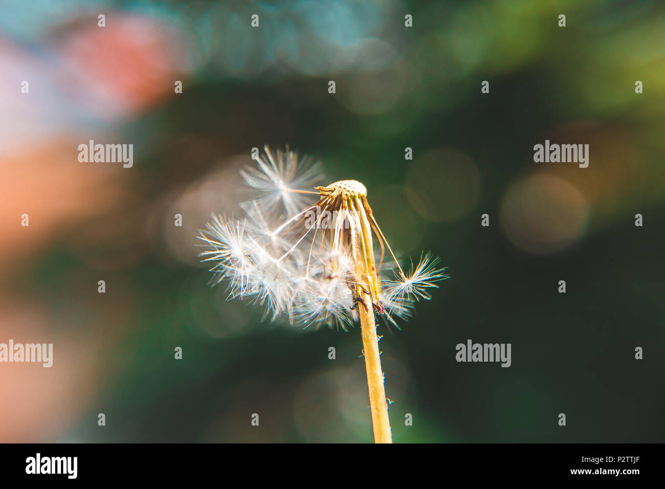 Half a dandelion with colorful bokeh background - Stock Image