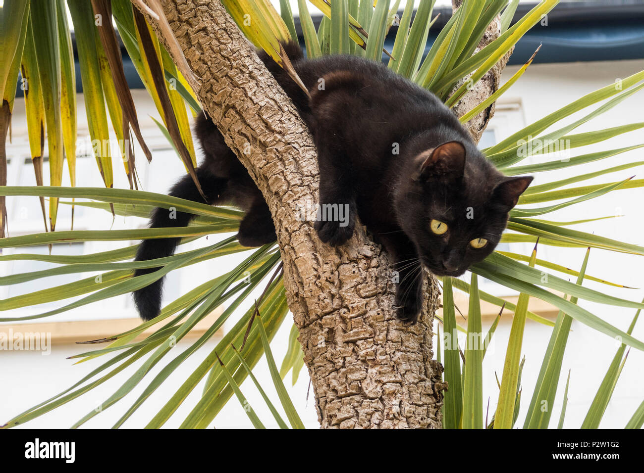 Young black cat climbing up a palm tree (cordyline australis) in a Devon garden. - Stock Image