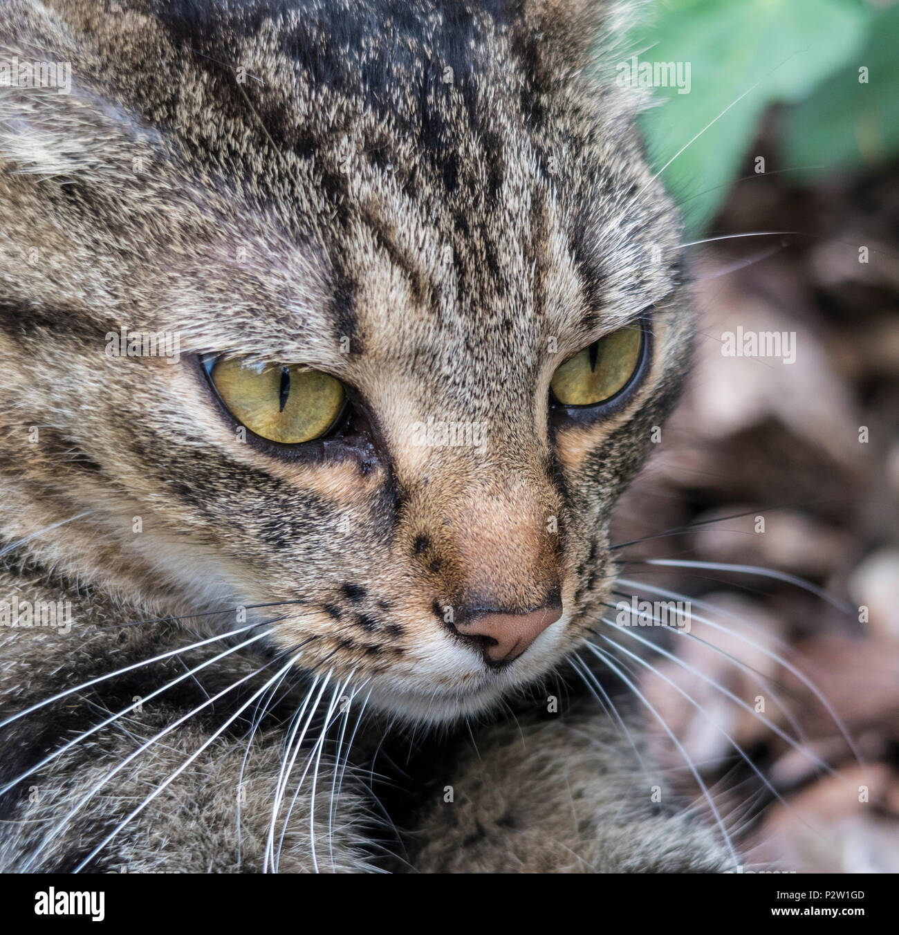 Tabby cat, bengal cat, head shot, head and shoulders, outside in a garden, - Stock Image