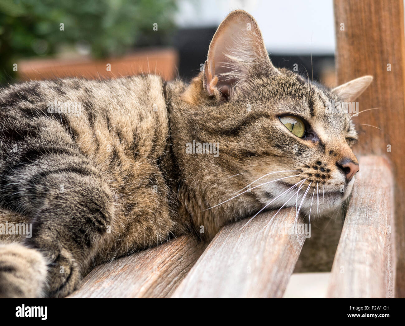 Remarkable Tabby Cat Bengal Cat Resting On A Garden Bench Stock Photo Inzonedesignstudio Interior Chair Design Inzonedesignstudiocom