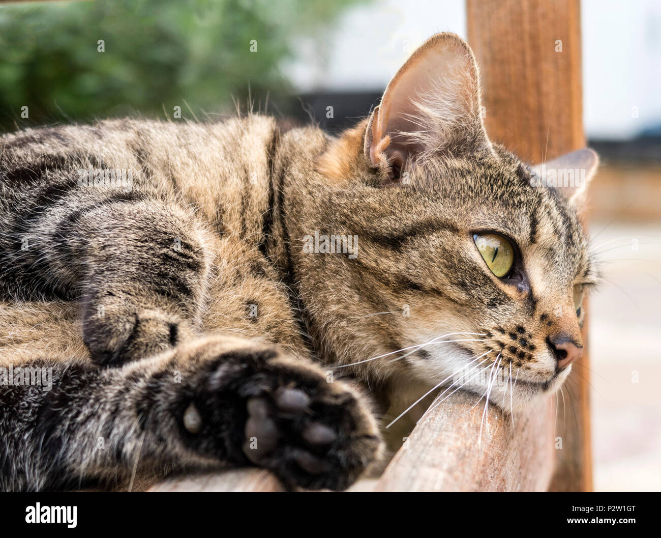 Tabby cat, bengal cat, resting on a garden bench. - Stock Image