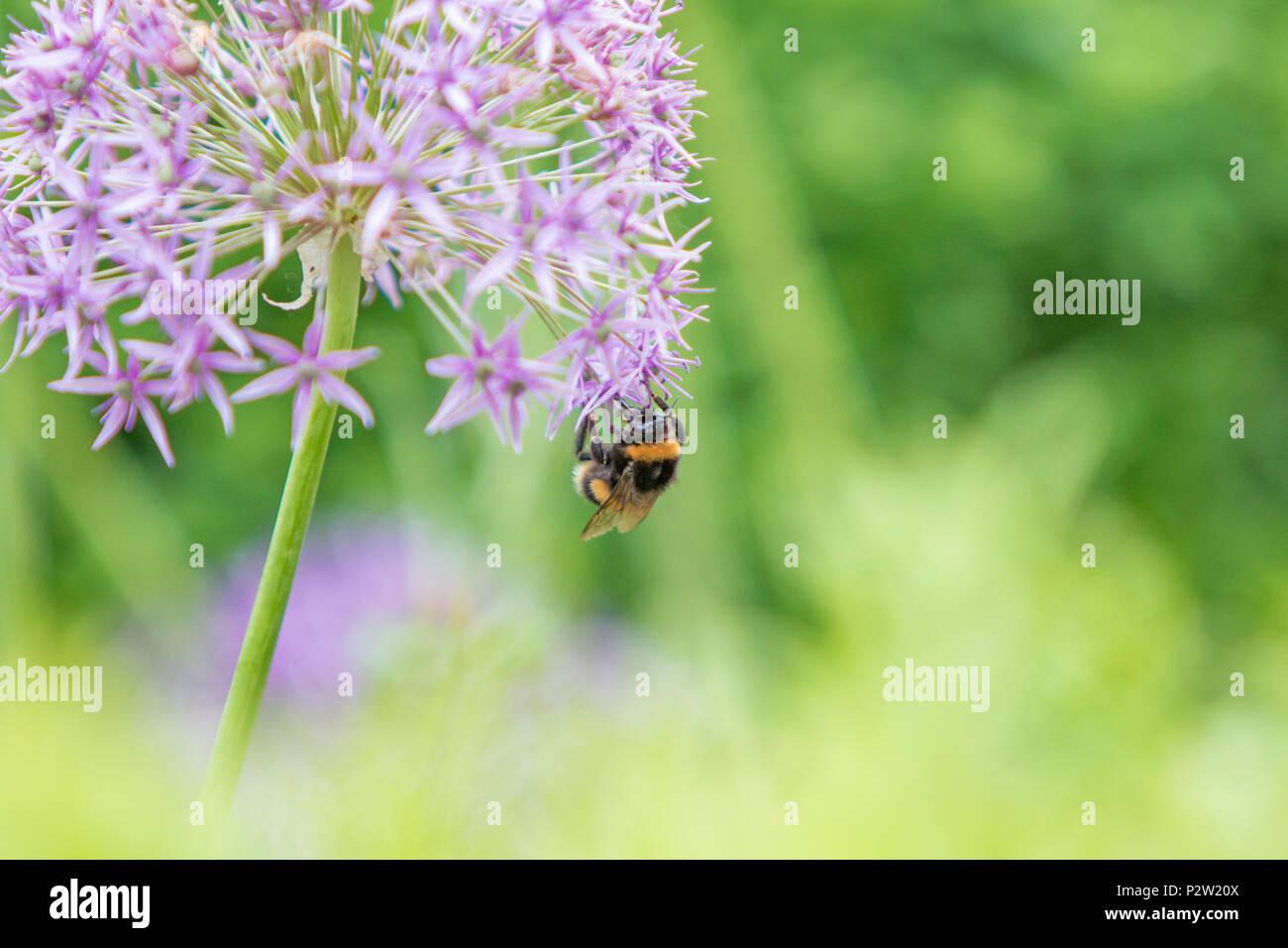 A Bee on a Allium flowerhead. - Stock Image