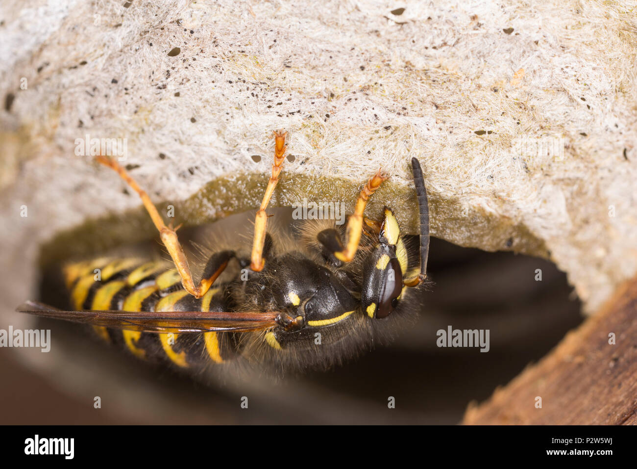 Shed Wasp Nest Stock Photos Amp Shed Wasp Nest Stock Images