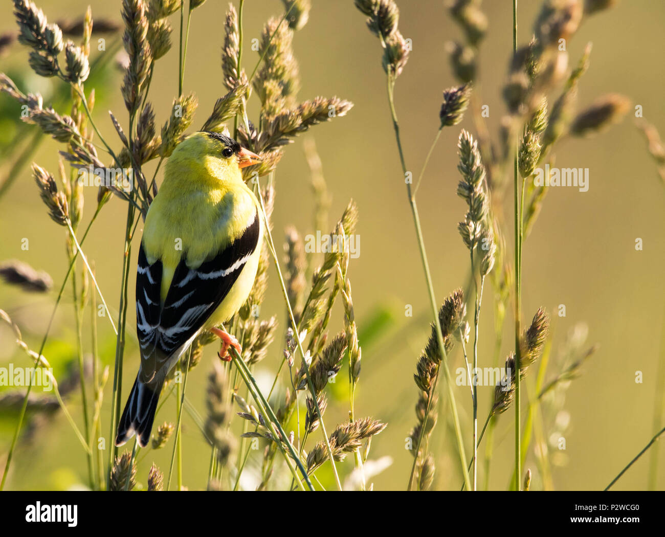 Golden Finch in the morning sun - Stock Image