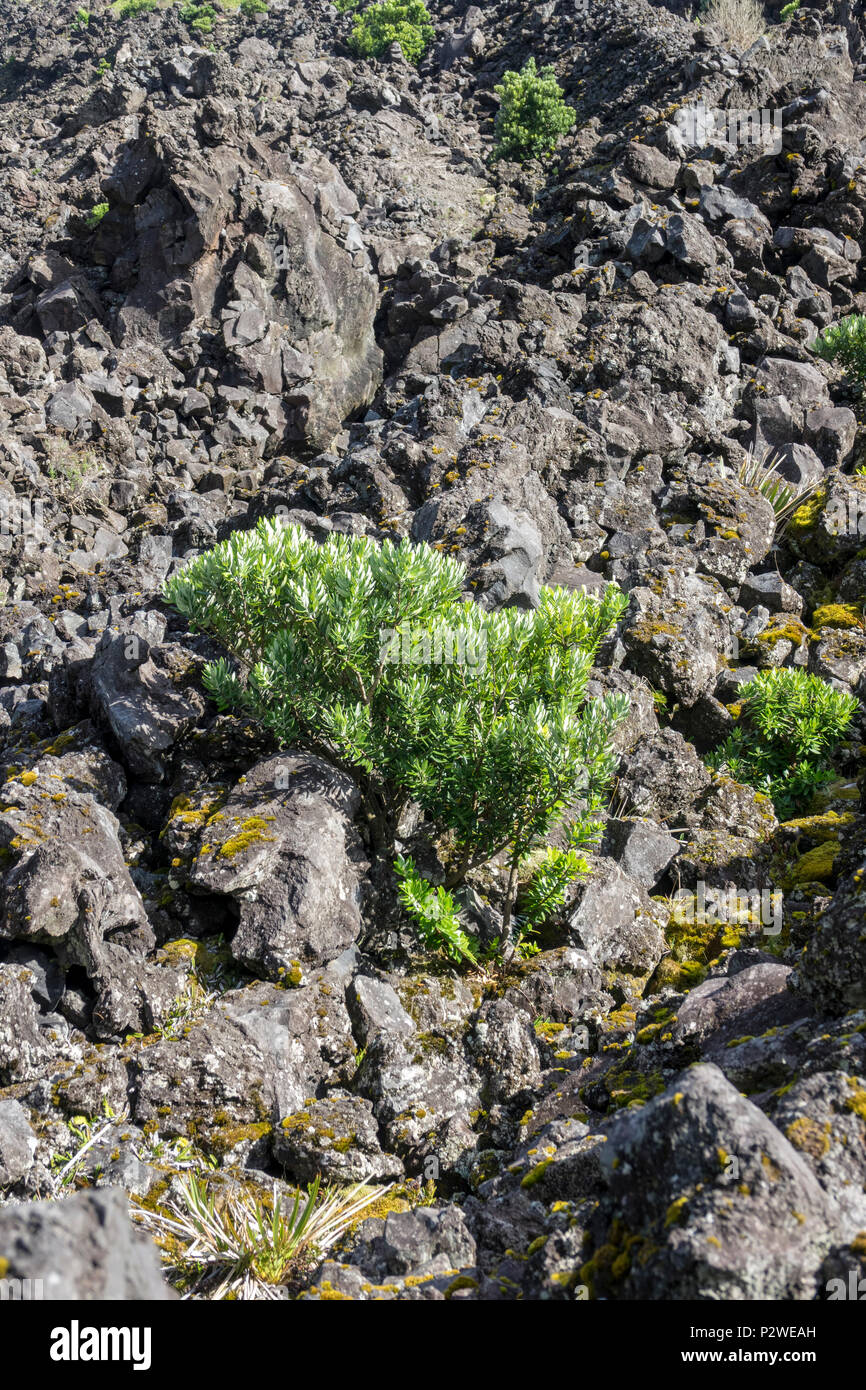 Young Cape Myrtle tree growing in lava field at Tristan da Cunha, British Overseas Territories, South Atlantic Ocean - Stock Image